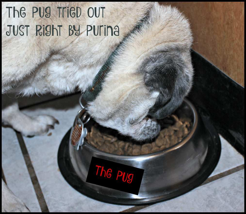 The Pug tried out Just Right by Purina #purina #dogfood #justright #foodreview [ad]